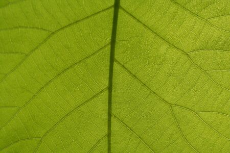 an image of Leaf Veins Stock Photo