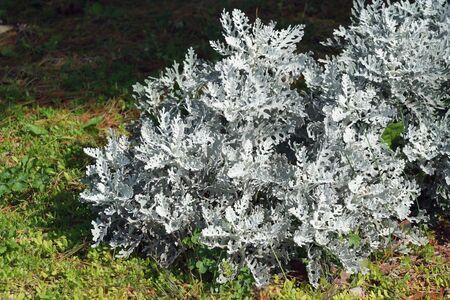 A Silver Dust Dusty Miller plant