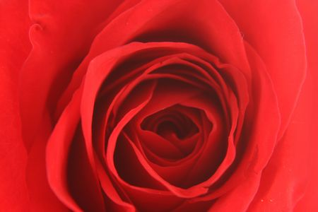 rote: A Red rose background texture