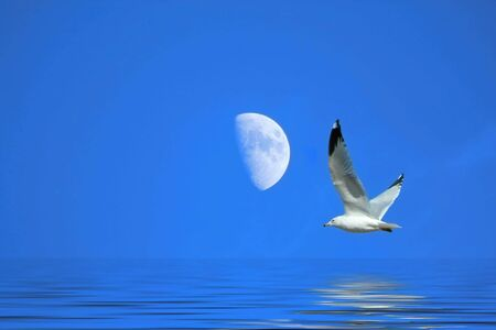 A Seagull flying near the Moon Stock Photo