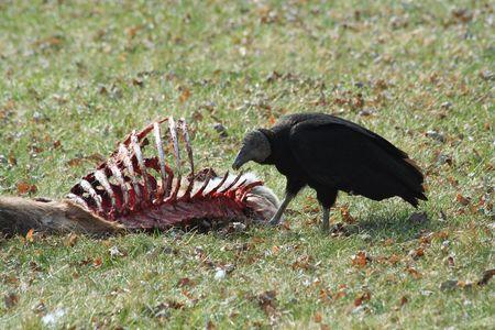 carcass: Black Vulture het eten van een hert karkas Stockfoto