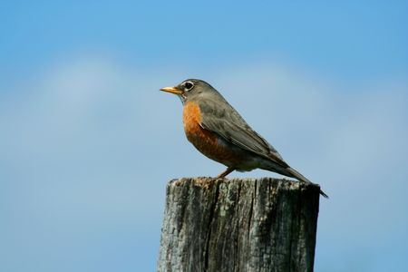 A redbrested robin on a fence post photo