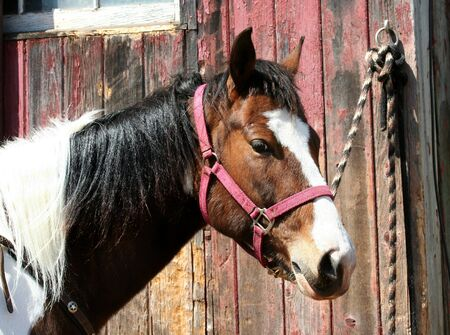 A Brown horse tied to a barn Stock Photo