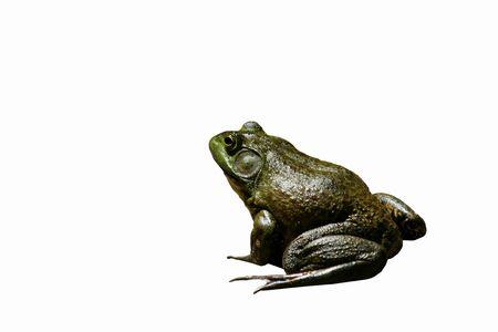 croak: An American bullfrog on concrete Stock Photo