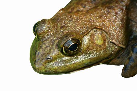 croak: A Close up of an American bullfrog