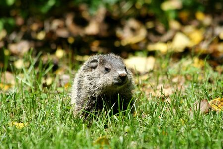 A  ground hog in the grass