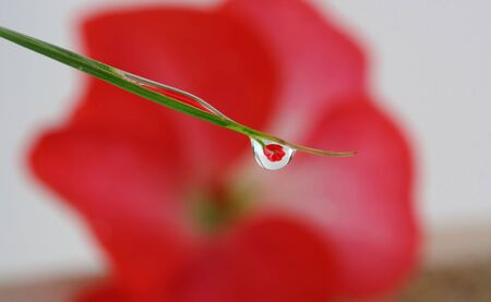 dew drop: Reflection of a flower in a dew drop Stock Photo