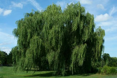 A Weeping willow tree with blue sky