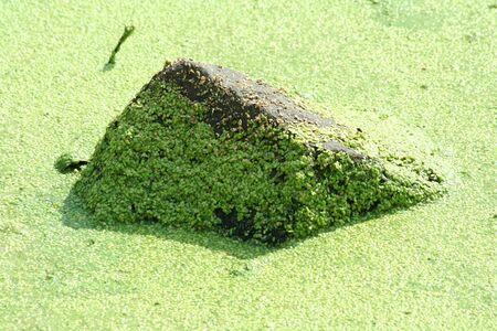 algas verdes: Una roca cubierta de algas verdes en Foto de archivo