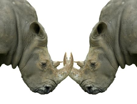 Isolated dueling Rhinos with locked horns on white photo