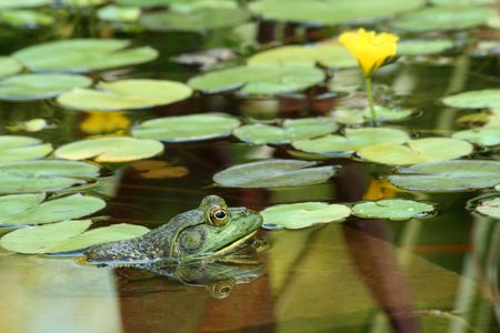 A Green bullfrog in a pond with lillypads photo