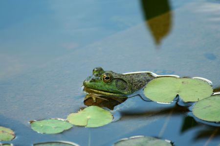 lilypad: A Green bullfrog in a pond