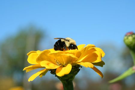 A Bumble Bee collecting on a yellow flower Stock Photo - 3750052