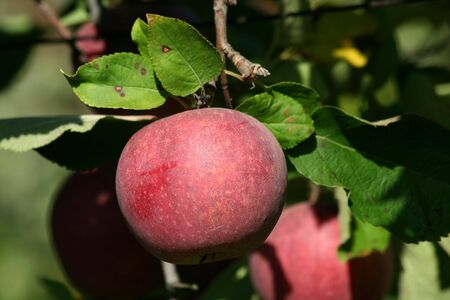 winesap apple: Red winesap apple hanging on a tree Stock Photo