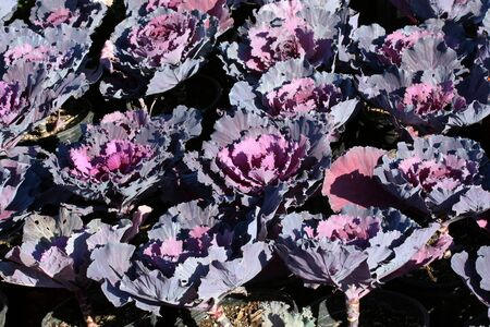 flowering kale: A bunch of Flowering Cabbage or Ornamental Kale