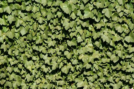 Green ivy on a wall background