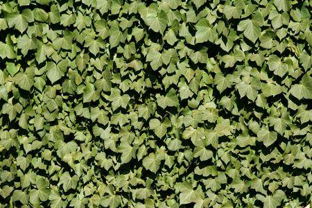 Groene klimop op een muur achtergrond