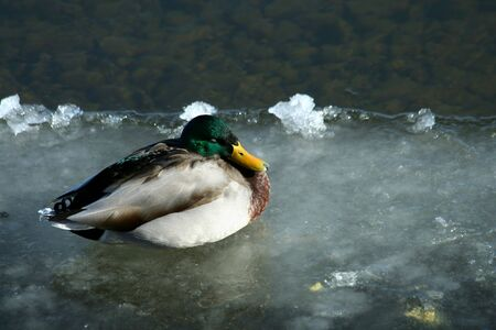 frozen river: A Mallard duck on a frozen river