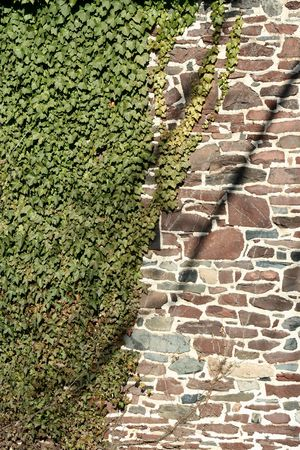 ivy wall: A ivy covered stone wall background Stock Photo