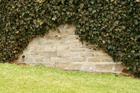 ivy wall: Ive covering a stone wall