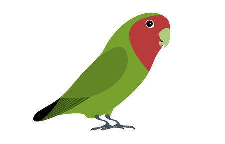 inseparable: A isolated green lovebird