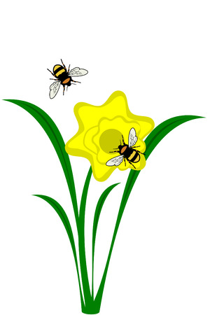 A yellow Daffodil flower with bees Illustration