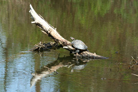 Large turtle sunning on a submerged branch