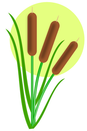 marsh plant: Three cattails with leaves Illustration