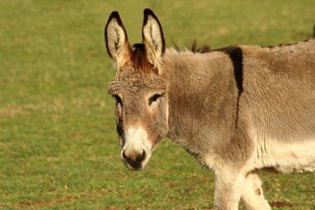 Donkey in a field