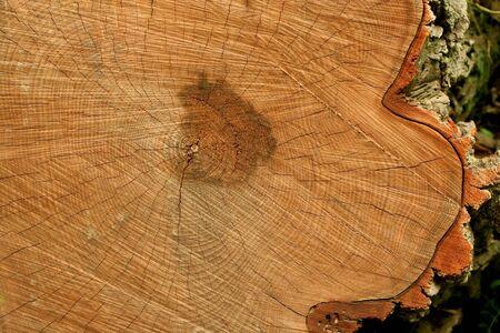 Doorsnede van een stam boom Stockfoto
