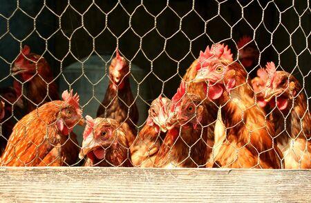 Een bos van kippen in een hok