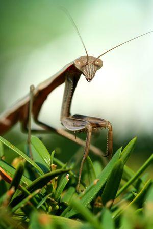 gottesanbeterin: Ein Praying Mantis auf einem Busch-Makro