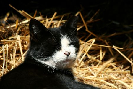 barn black and white: Black and white barn cat laying in straw