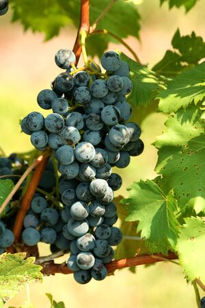 A bunch of grapes on the vine photo