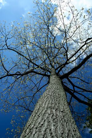 Looking up a tall tree with sky Stock Photo - 9482312