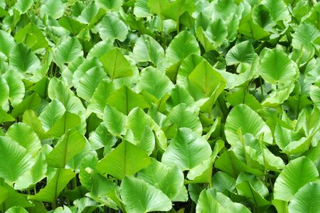 waterlillies: A Green swamp plants background