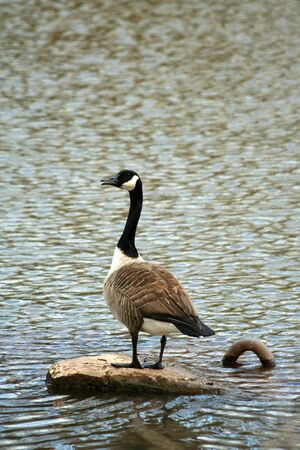 A Canadian goose on a lake Stock Photo - 12178636