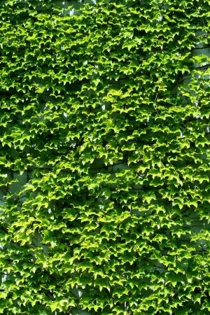 wall ivy: Un edificio cubierto de hiedra