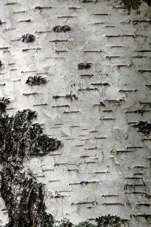 白樺ツリーの背景色 写真素材 - 14596181