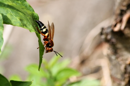 A Cicada killer wasp on a leaf
