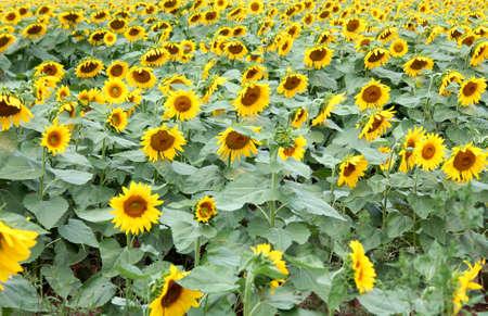 晴れた日にヒマワリの畑 写真素材 - 14900955