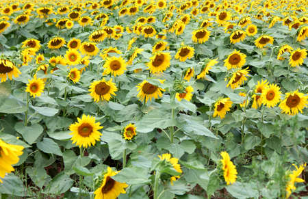 A field of sunflowers on a sunny day Imagens