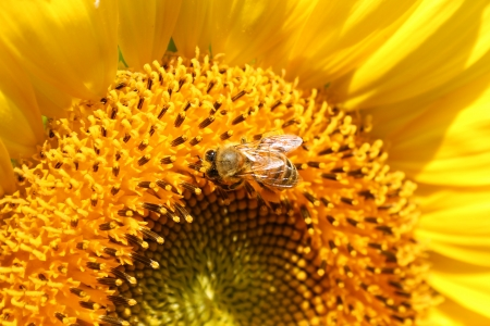 A Sunflower with honey bee macro