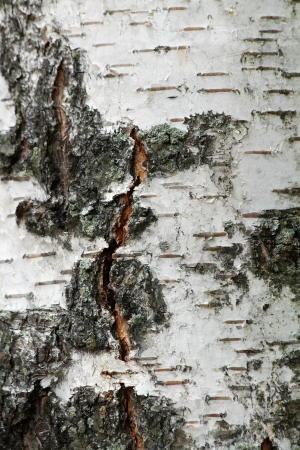 A White birch tree background