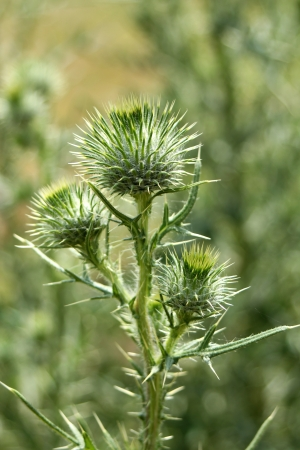 A green Bull Thistle with thorns