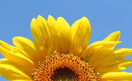 晴れた日にひまわり 写真素材 - 14992364