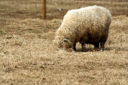フィールドで放牧羊