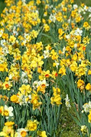 黄色い水仙のパッチ