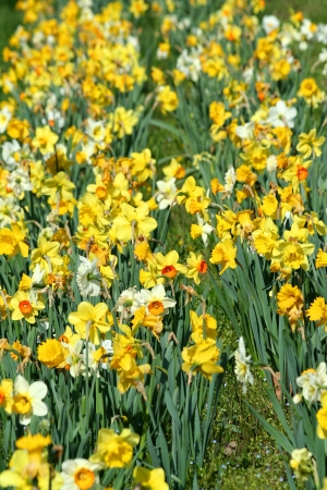 A Patch of yellow daffodils