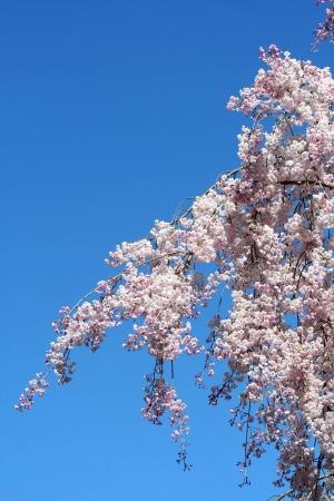 青い空を背景桜の花 写真素材 - 20011203